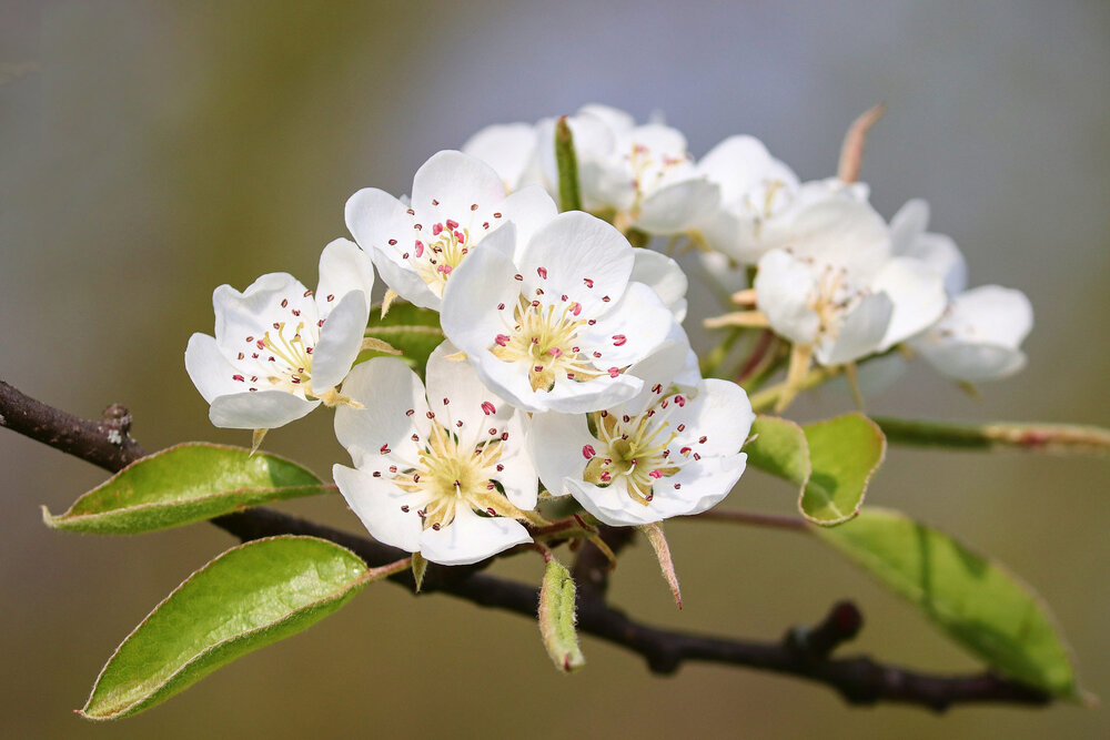 Pear flowers  Pyrus sp .    Image source