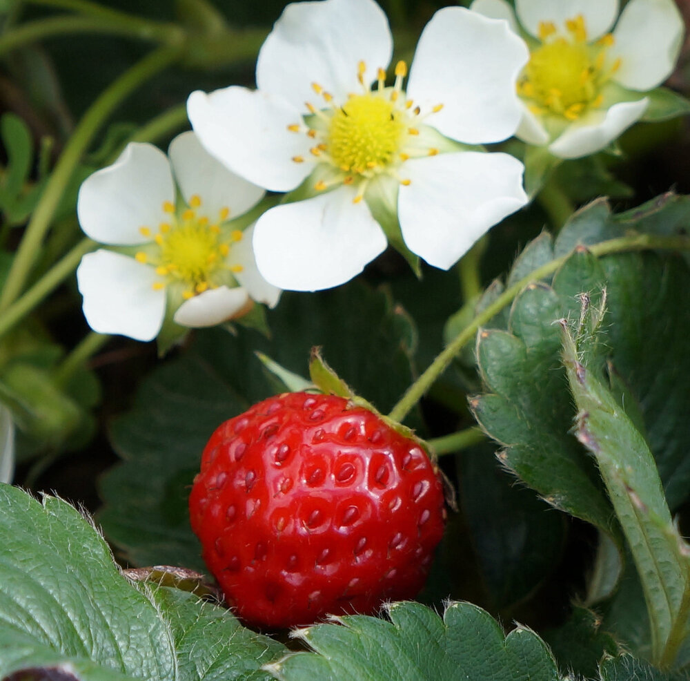 Red garden strawberry  Fragaria × ananassa  flowers and fruit.    Image source