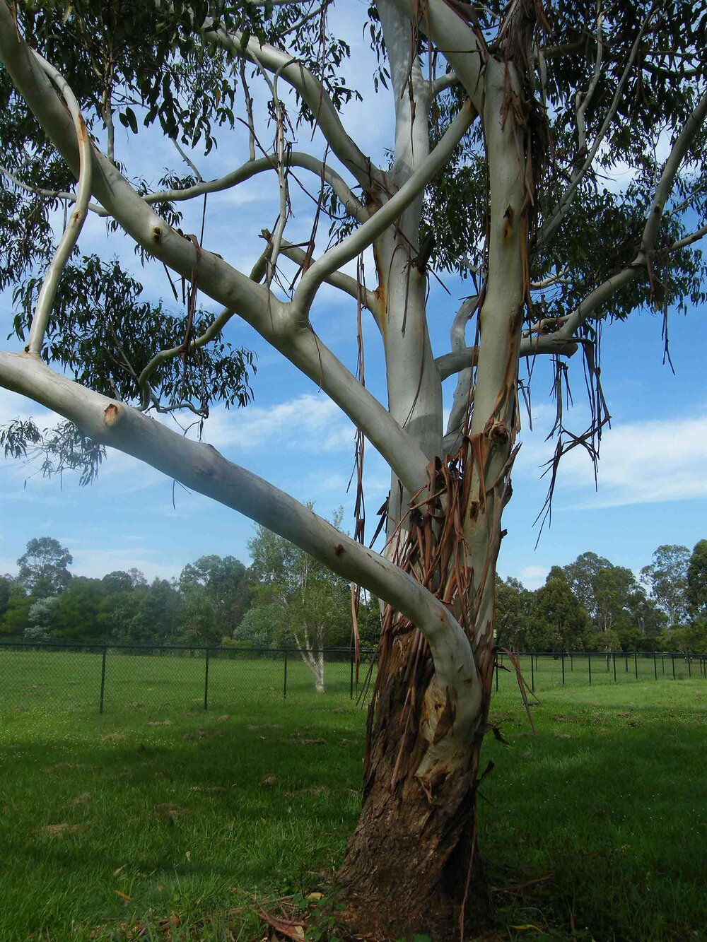 Sydney blue gum  Eucalyptus saligna  is an example of a ribbon gum.    Image source