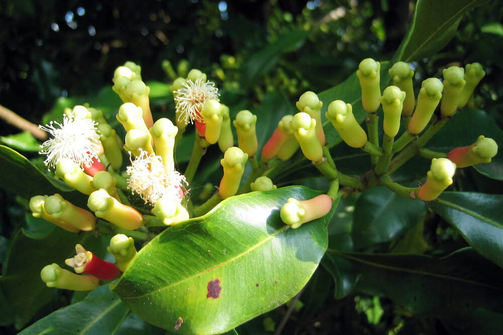 Cloves  Syzigium aromaticum  fresh on the tree. The unopened buds are what is harvested as a spice.  Image source