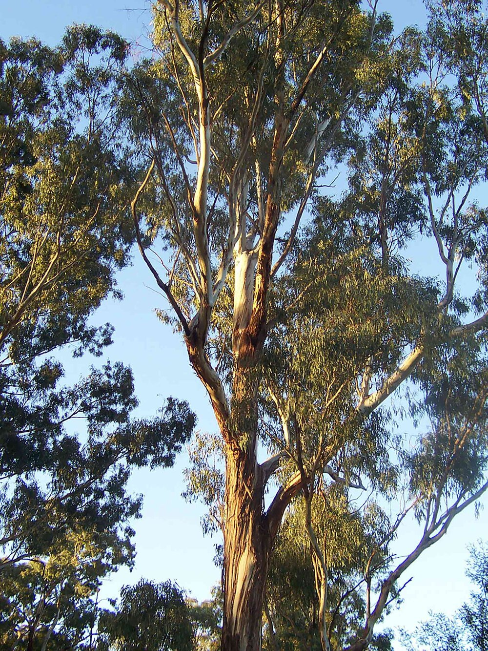 A ribbon-barked  Eucalyptus sp . with a main trunk.    Image source