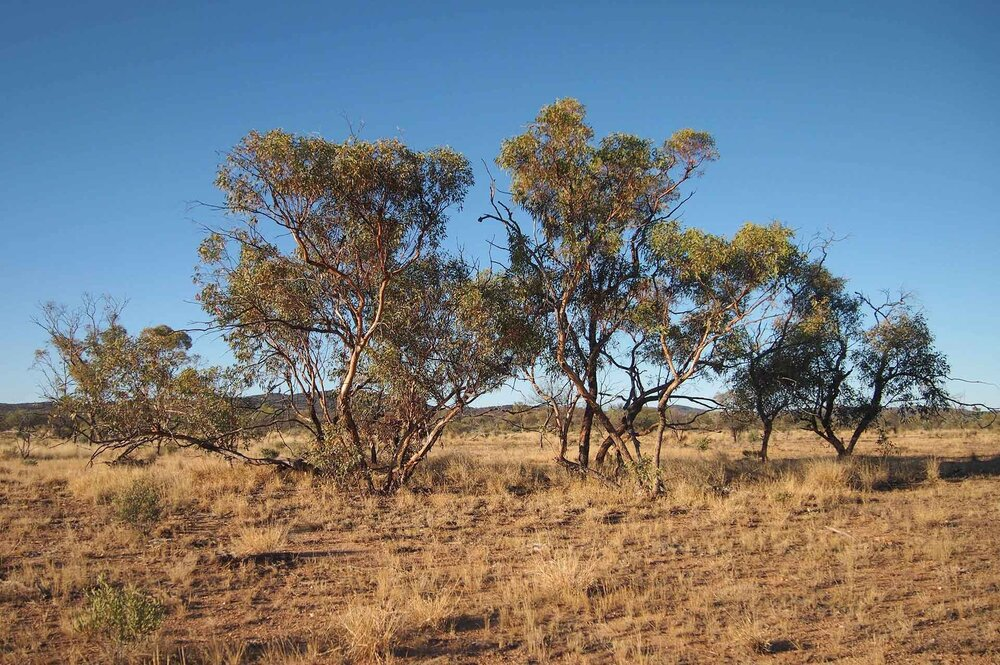 Red mallee  Eucalyptus socialis  showing a normal mallee habit.    Image source