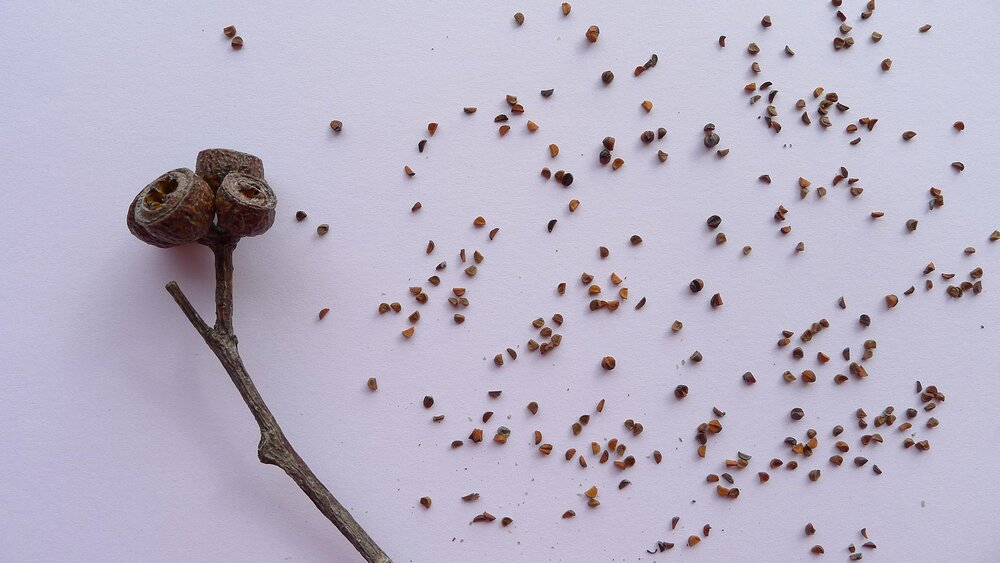 Gumnuts and tiny seeds of  Eucalyptus obstans .    Image source