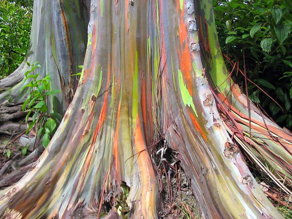 The bark of  Eucalyptus deglupta  is completely unreal.    Image source