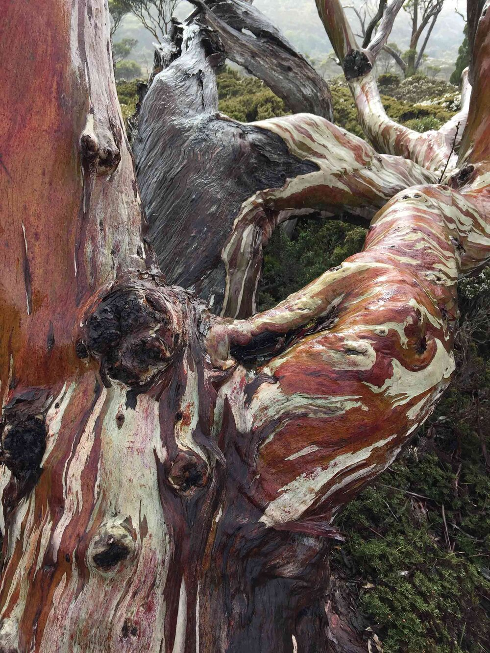 Tasmanian snow gum  Eucalyptus coccifera  with another stunning smooth bark texture.    Image source