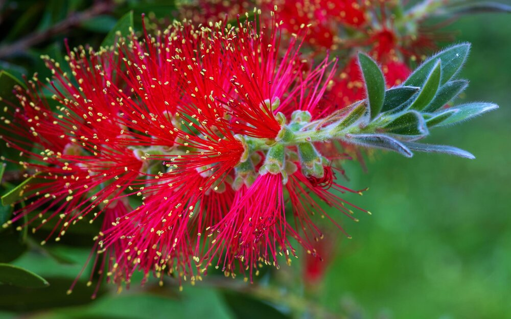 Callistemon sp . (probably  C. citrinus ) with a bottle brush inflorescence near the branch tip.    Image source