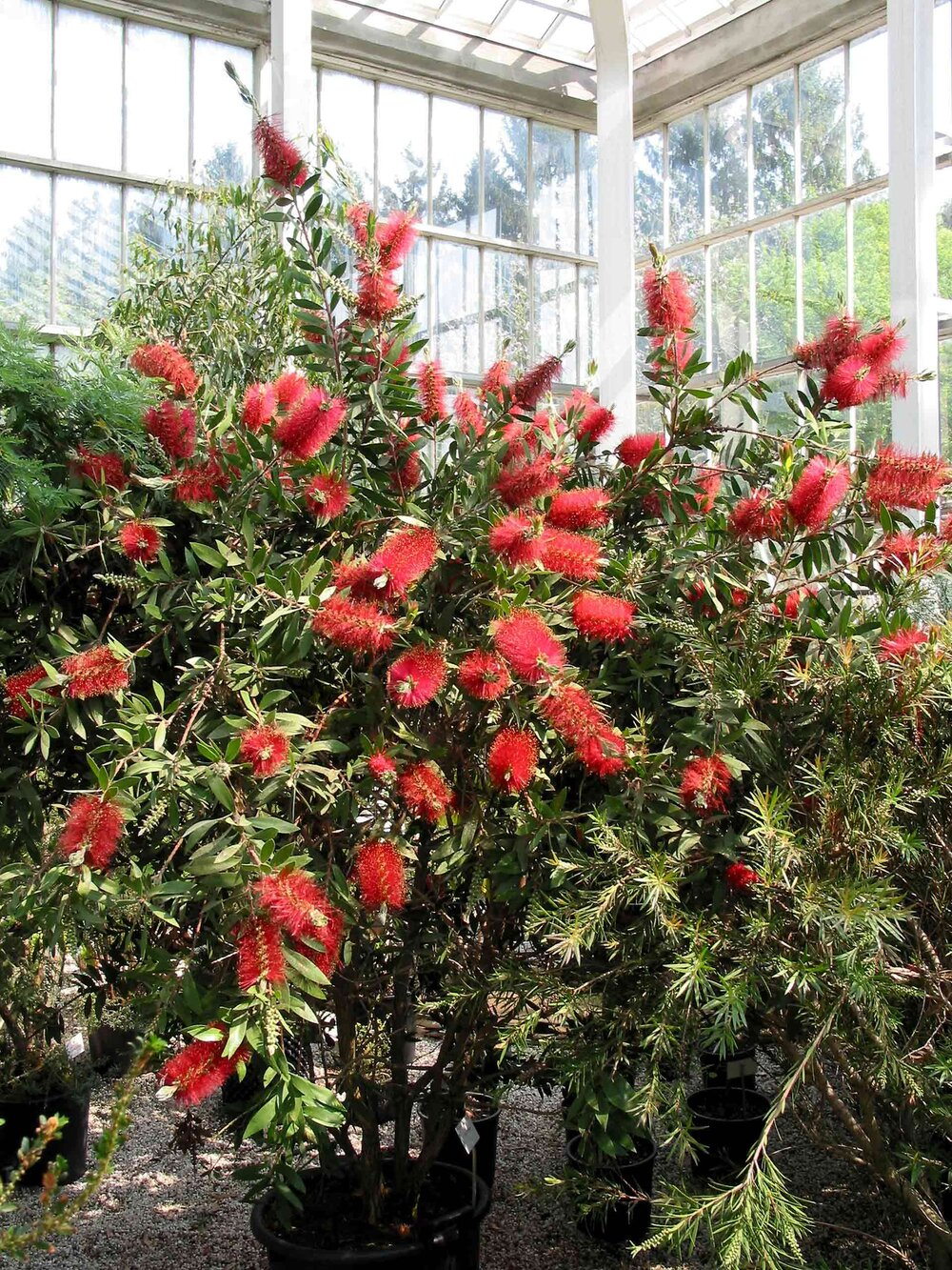 A young  Callistemon citrinus  bush in flower.    Image source