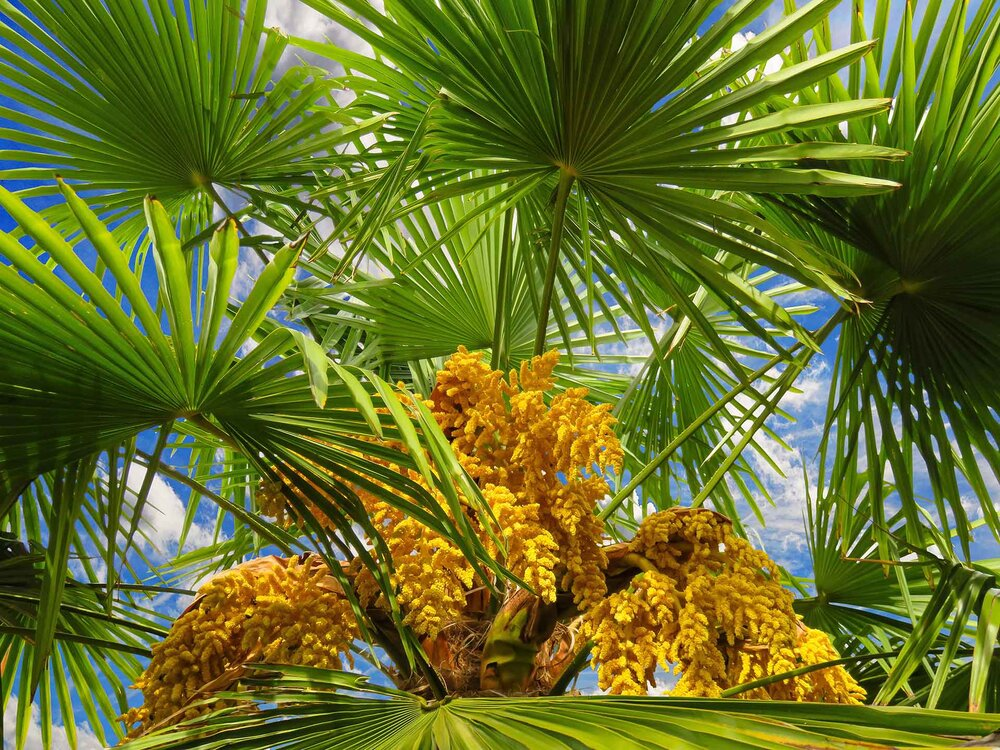 An unknown palm tree in full bloom. The flowers here are housed on a compound branching inflorescence structure. Image source