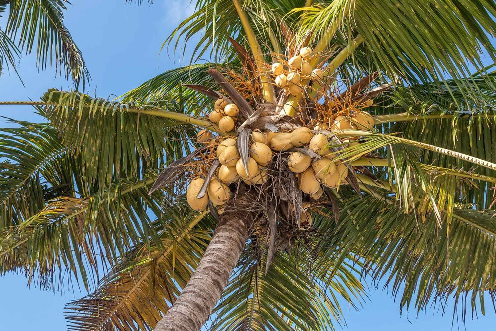 Coconuts hanging from a  Coco sp .    Image source