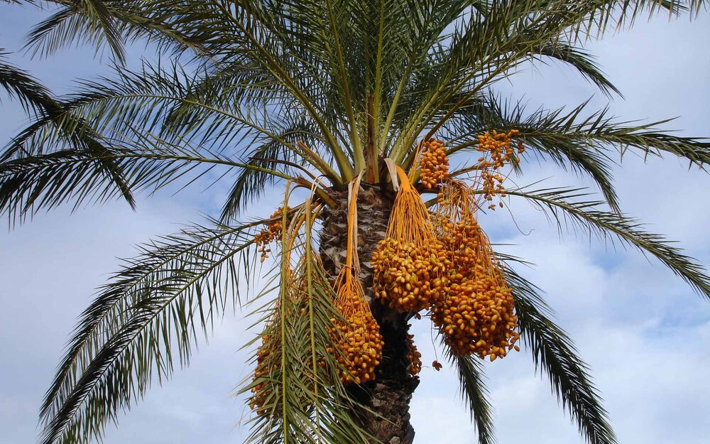 Female date palm plant  Phoenix dactylifera  with heavy fruits.    Image source