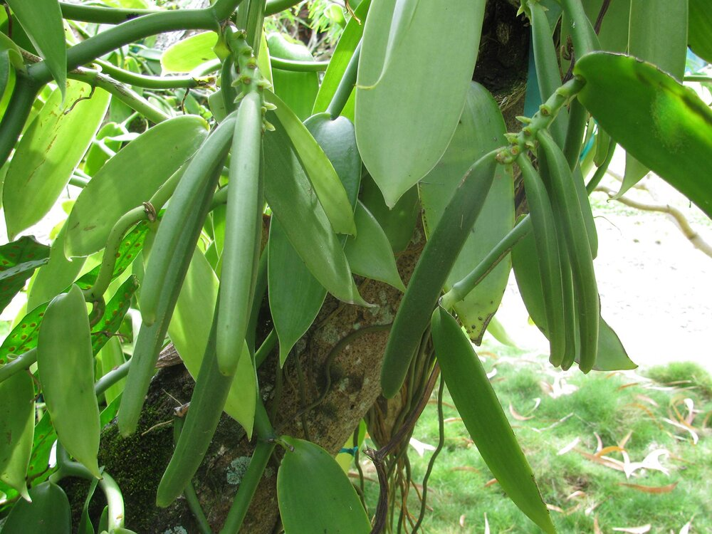 An epiphyte is a plant that lives in another plant but is not parasitic. Here a culinary vanilla plant  Vanilla   planifolia  is living on a tree. Notice the seed pods which are typical for the orchid family.    Image source