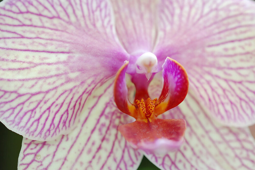 Another moth orchid  Phalaenopsis sp.  up close.    Image source