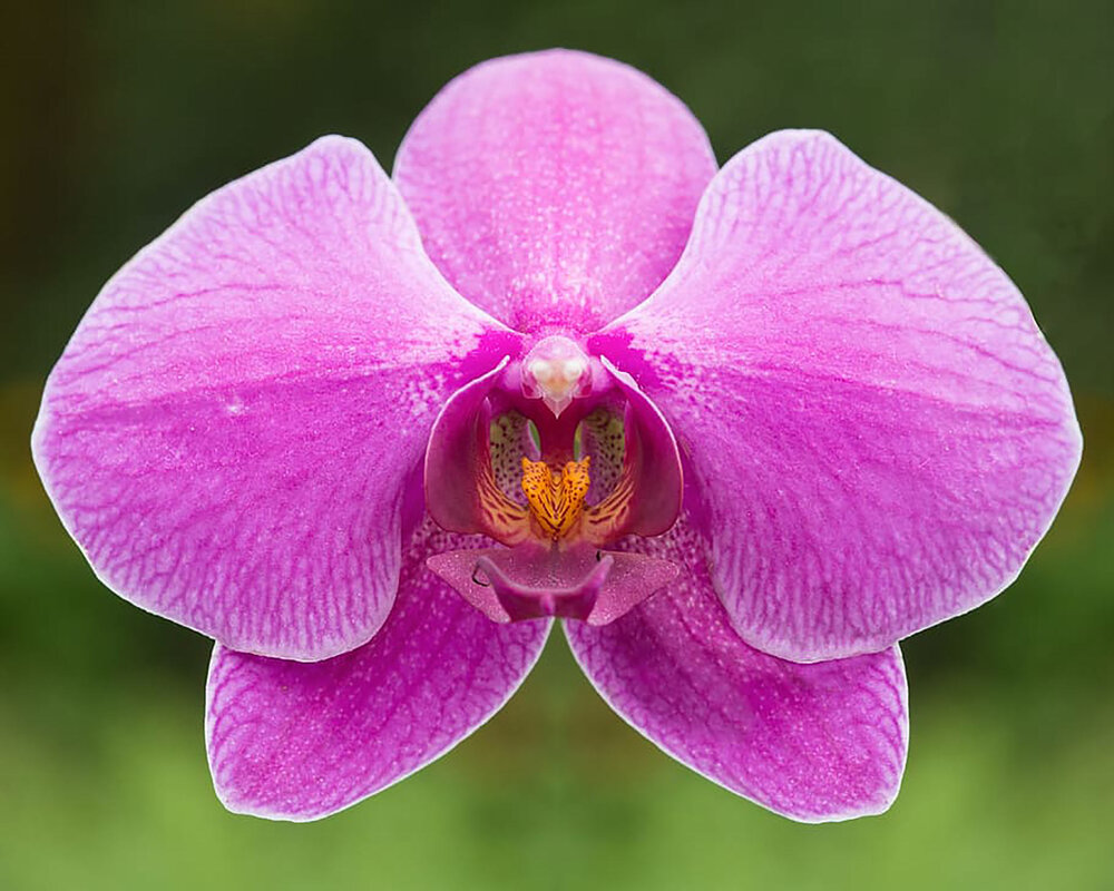 A moth orchid  Phalaenopsis sp . showing the orchid petal structure: 3 sepals (tepals) at the back, and 3 petals (tepals) at the front. Marvel and wonder at the sorts of evolutionary processes that must have created the bottom petal, or labellum.    Image source