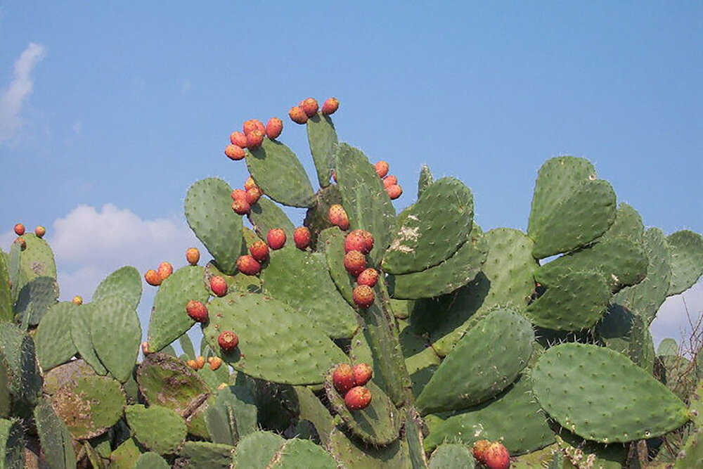 Prickly pear Opuntia ficus-indica fruits on stems. Image source