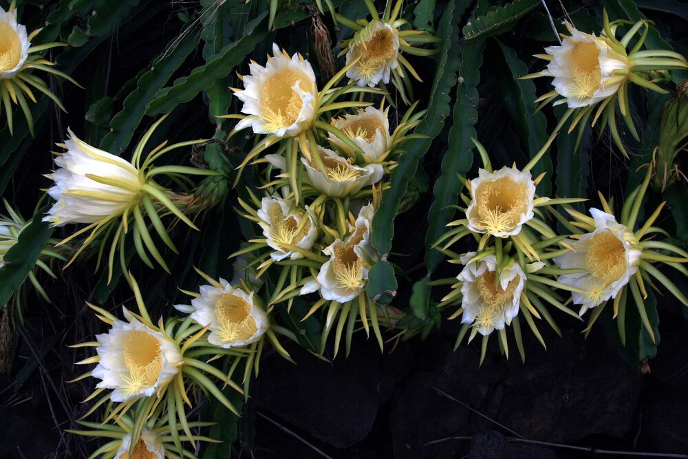 Dragon fruit plant  Hylocereus undatus  with plenty of flowers. Notice the many stigmas on each pistil, and also the bracts that appear like sepals, but are in fact modified leaves.    Image source