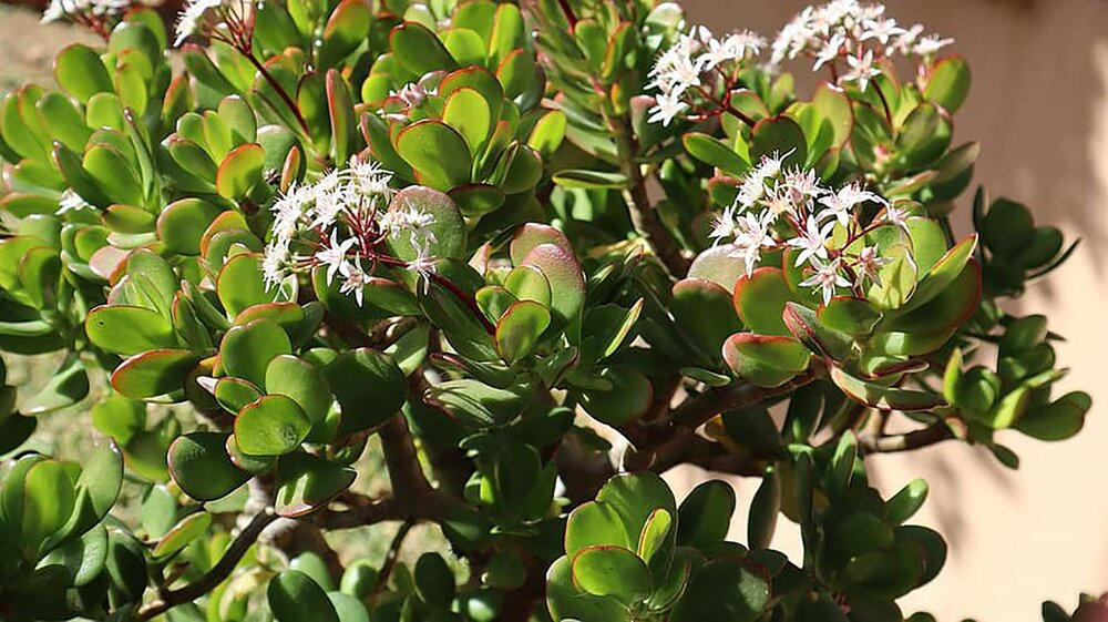 The jade plant, or the money tree  Crassula ovata .    Image source