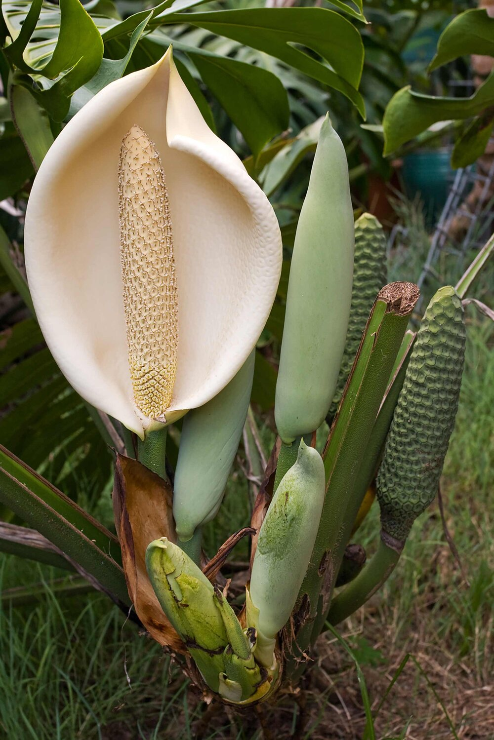 Monstera deliciosa  immature composite fruits and an inflorescence.    Image source