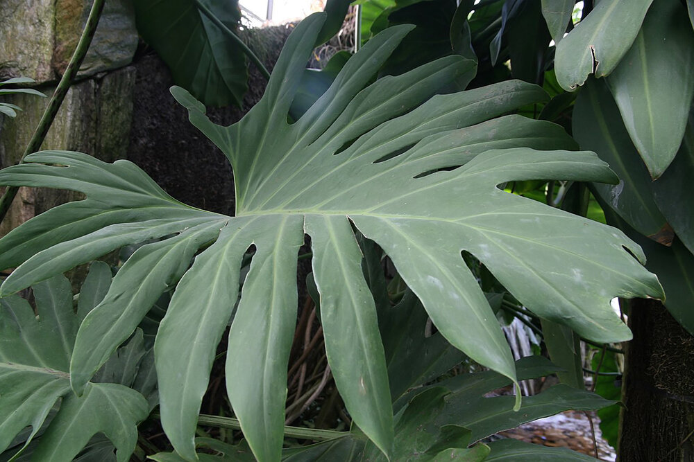 Philodendron pinnatifidum  is an example of a philly that looks like a monstera.    Image source