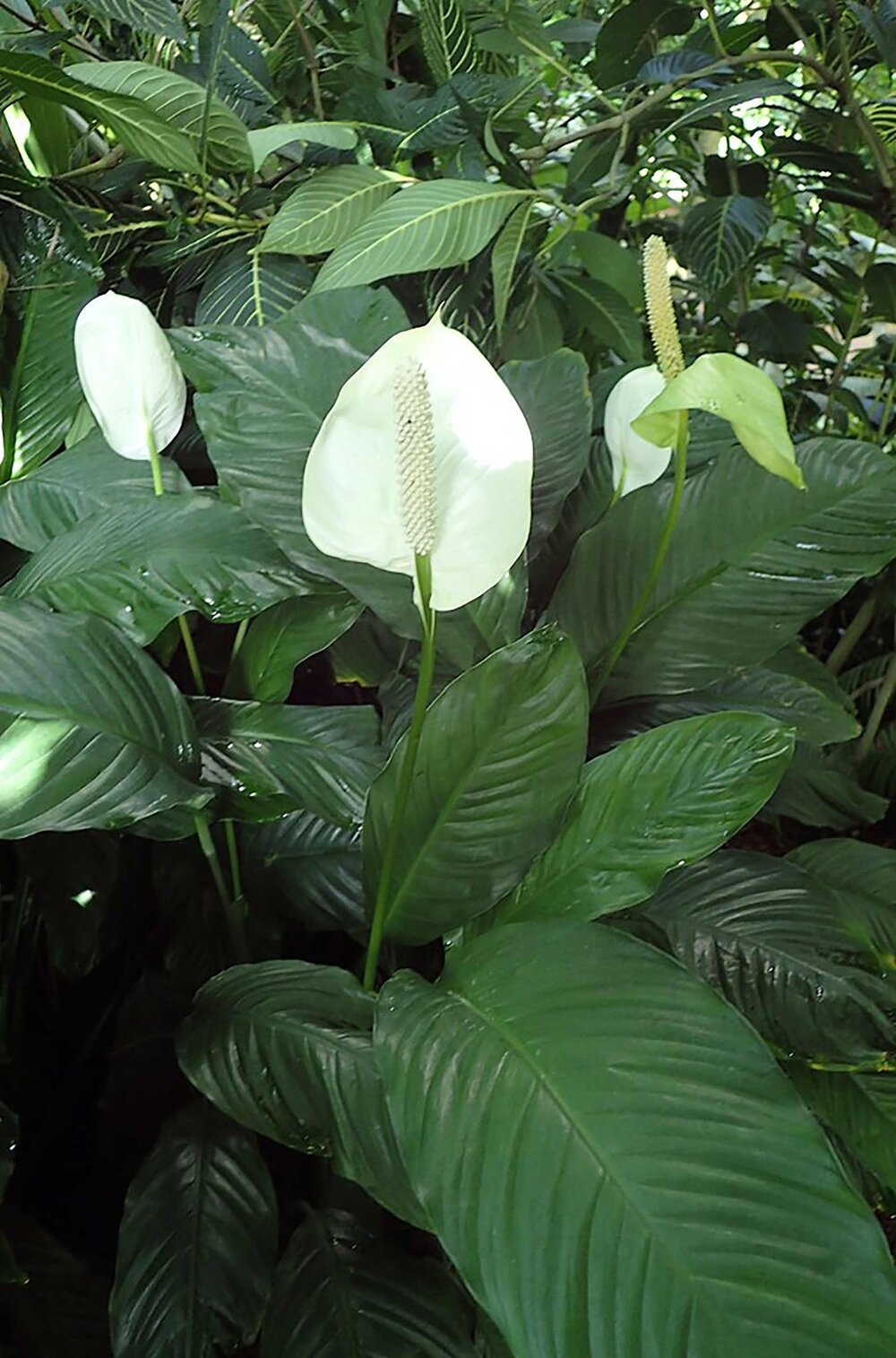 Peace lilies  Spathiphyllum wallisii .    Image source