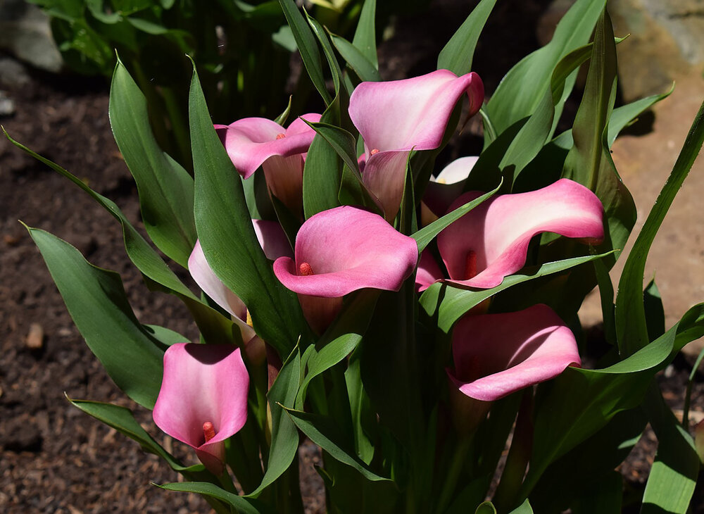 Here is a pink calla lily variety,  C. palustris .    Image source