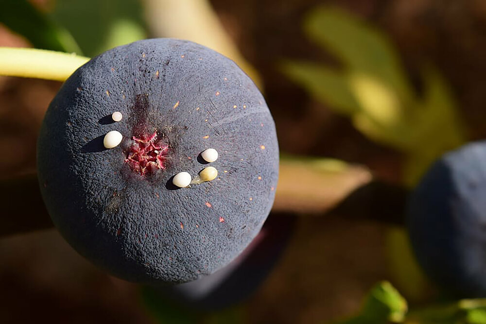 A  Ficus sp . with sap oozing out of a blue fig fruit.    Image source
