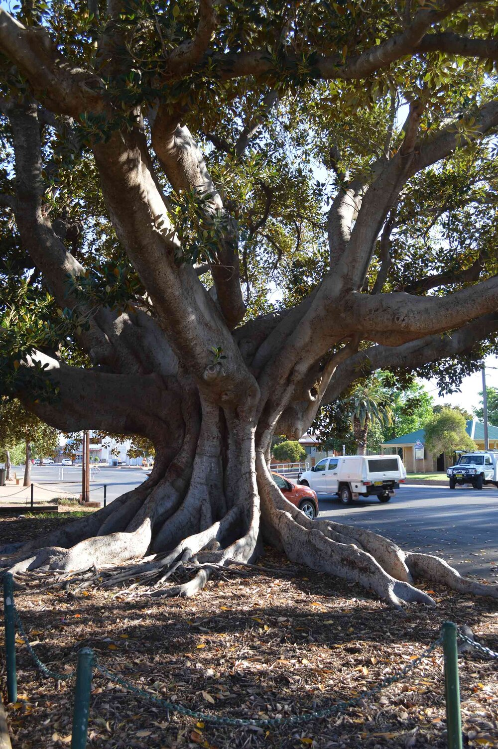The branch structure and buttress roots of the glorious Moreton Bay fig  Ficus macrophylla .    Image source
