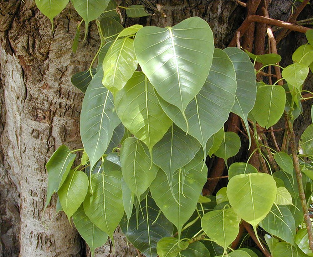 Bodhi tree  Ficus religiosa  leaves.    Image source