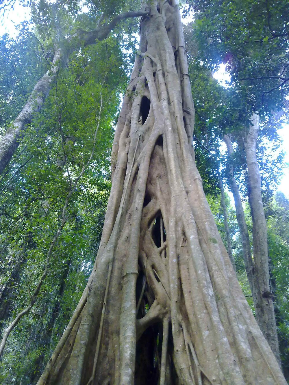 Ficus watkinsiana  is s strangler fig. This one probably started life in a puddle of bird poo in the crook of a branch of a tree. That original tree probably died long ago and has decomposed; you can see the gaps between the roots that now support a successful and mature banyan tree.    Image source