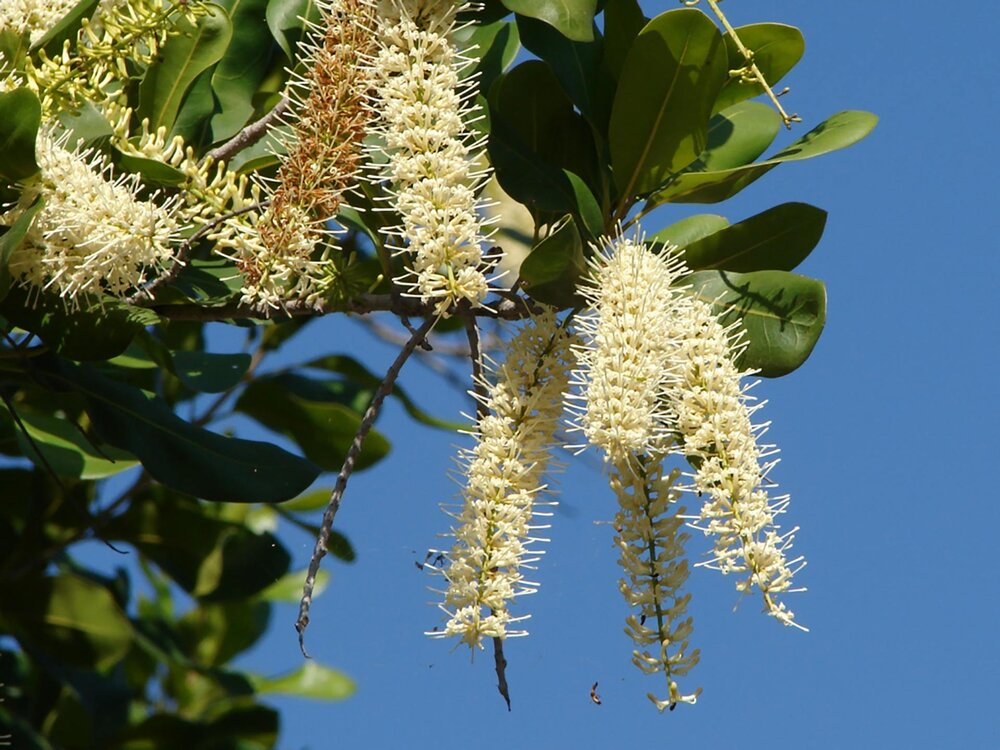 Flowering  Macadamia sp .    Image source