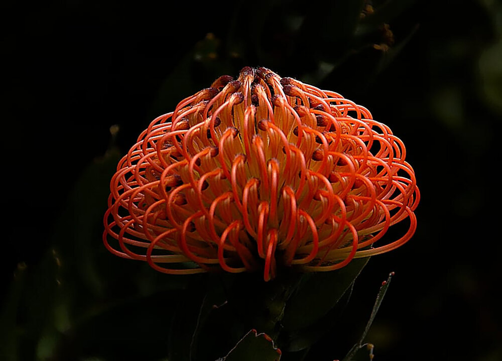 The inflorescence of a waratah  Telopia sp ., each flower with a prominent pistil still attached to the perianth.    Image source