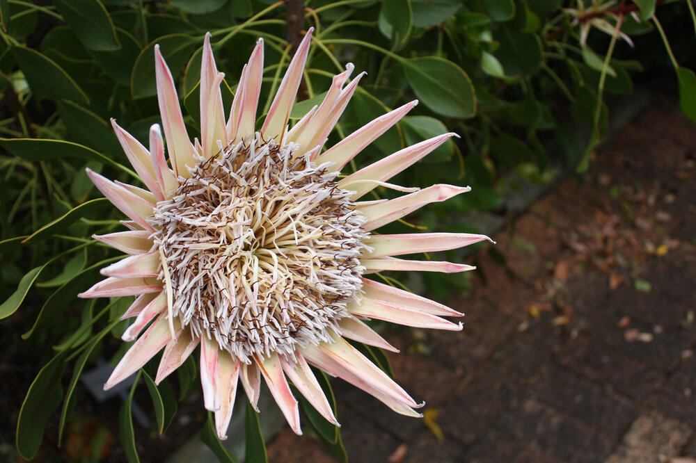 An older king protea  Protea cynaroides  preparing to go to seed.    Image source