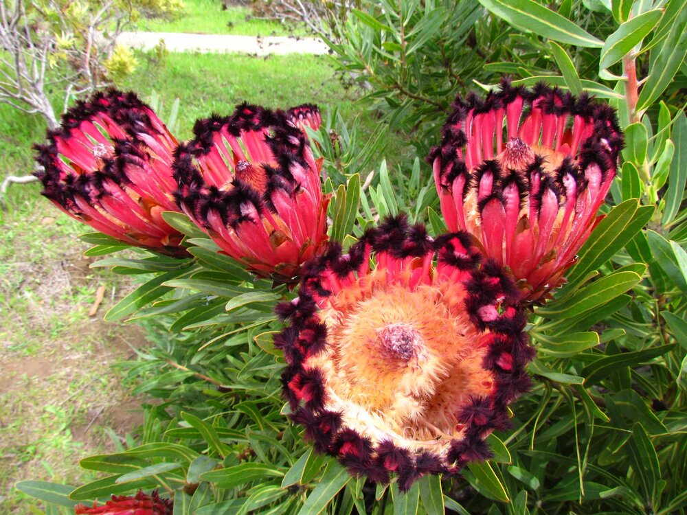 A feathery  Protea sp . believed to be  P. lepidocarpodendron x neriifolia .    Image source