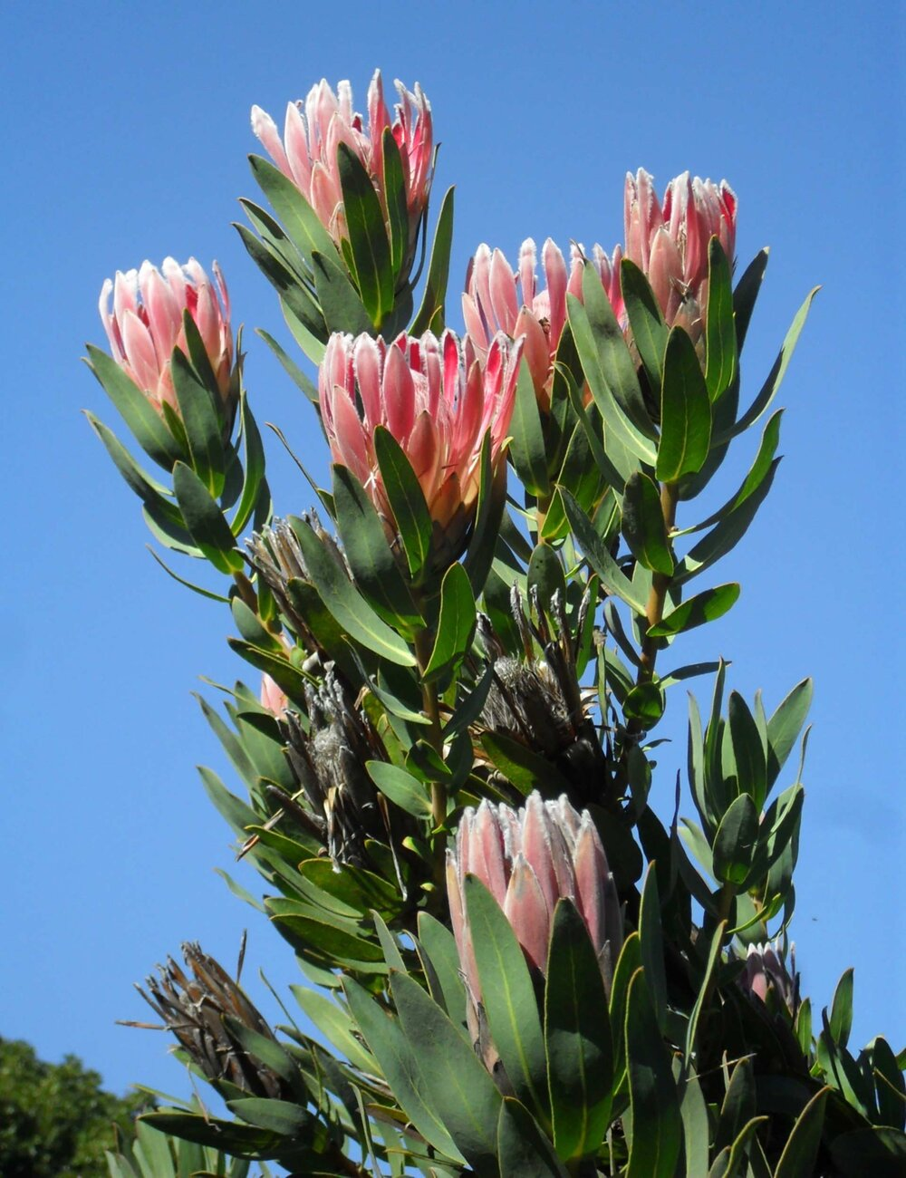 Protea sp . showing leaves, fresh inflorescences and dry inflorescences, possibly with fruits and seeds within.    Image source