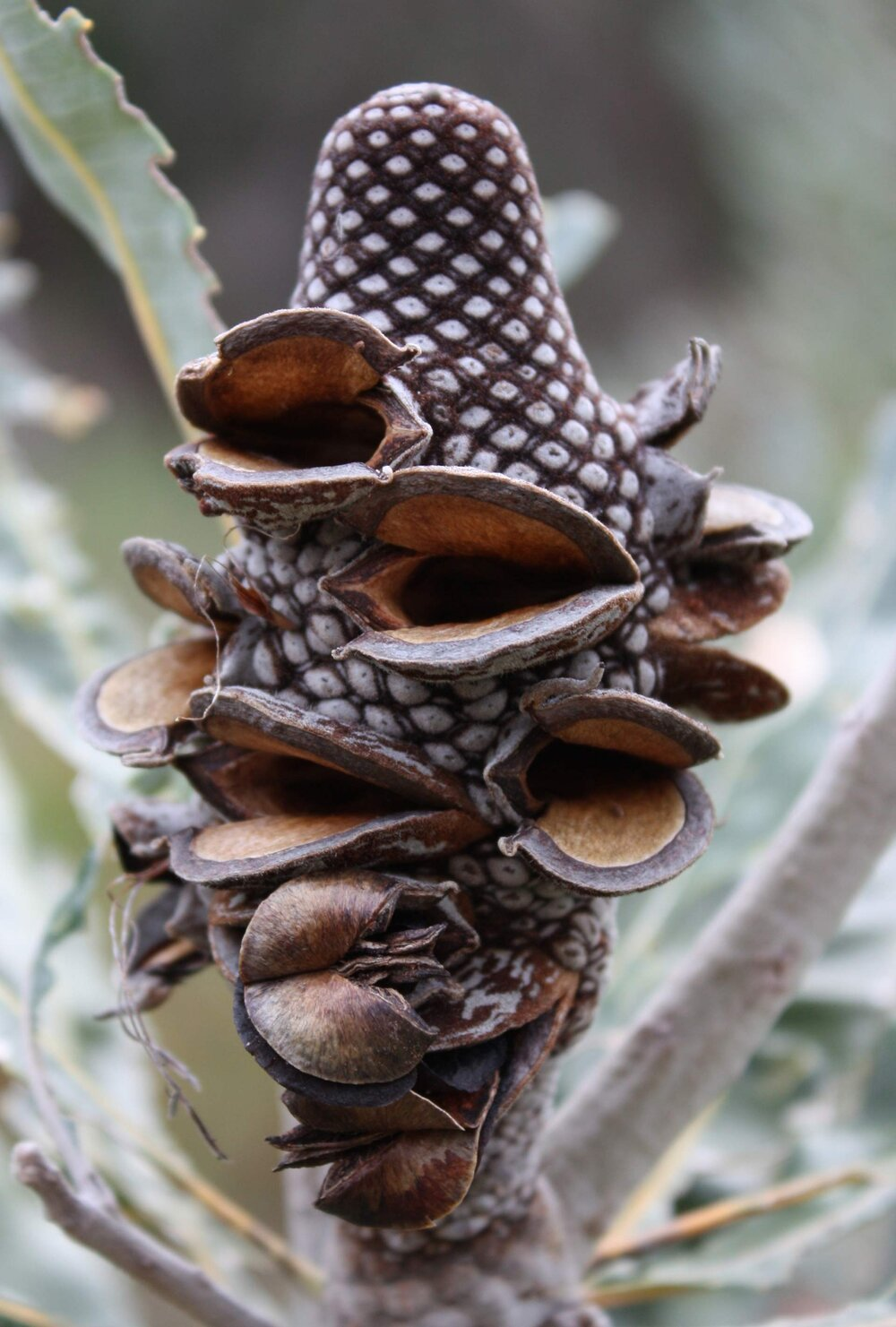 Open dehiscent seed pods on the infructescence of  Banksia menziesii .    Image source