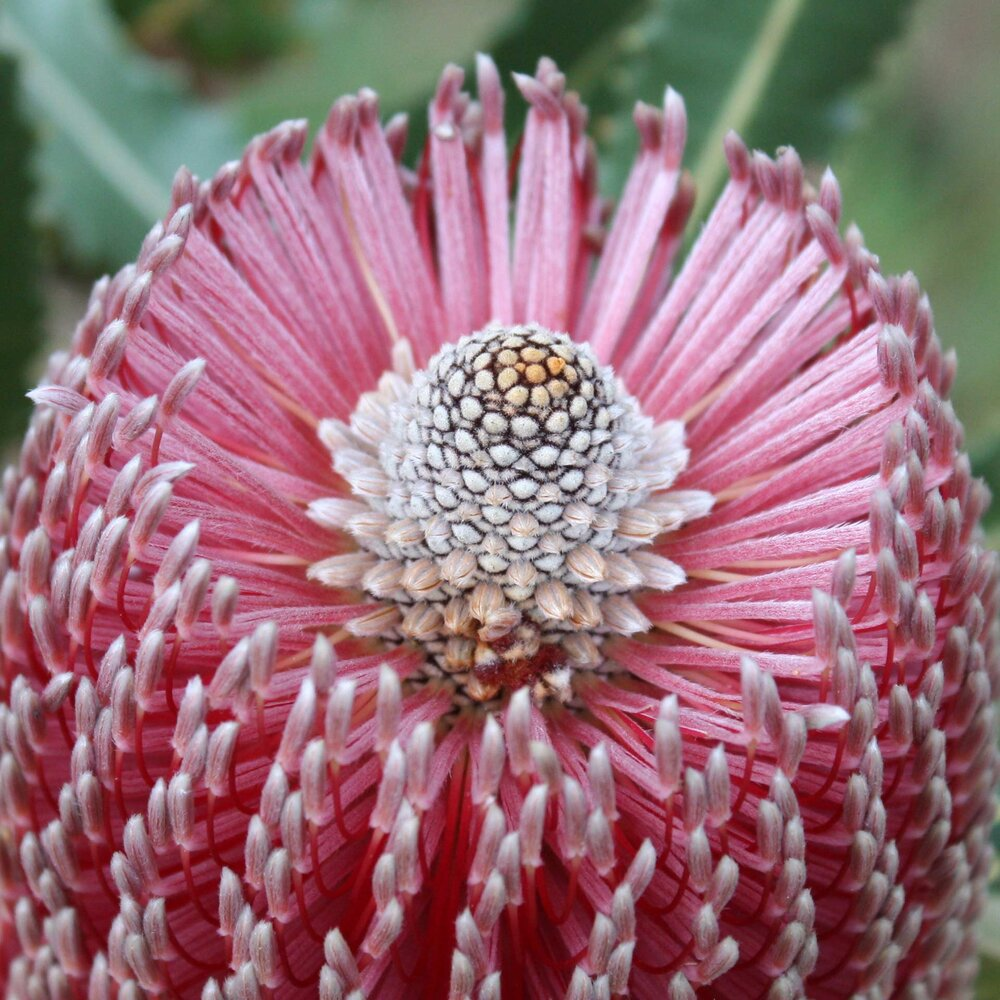 Banksia menziesii  inflorescence close-up from the top.    Image source