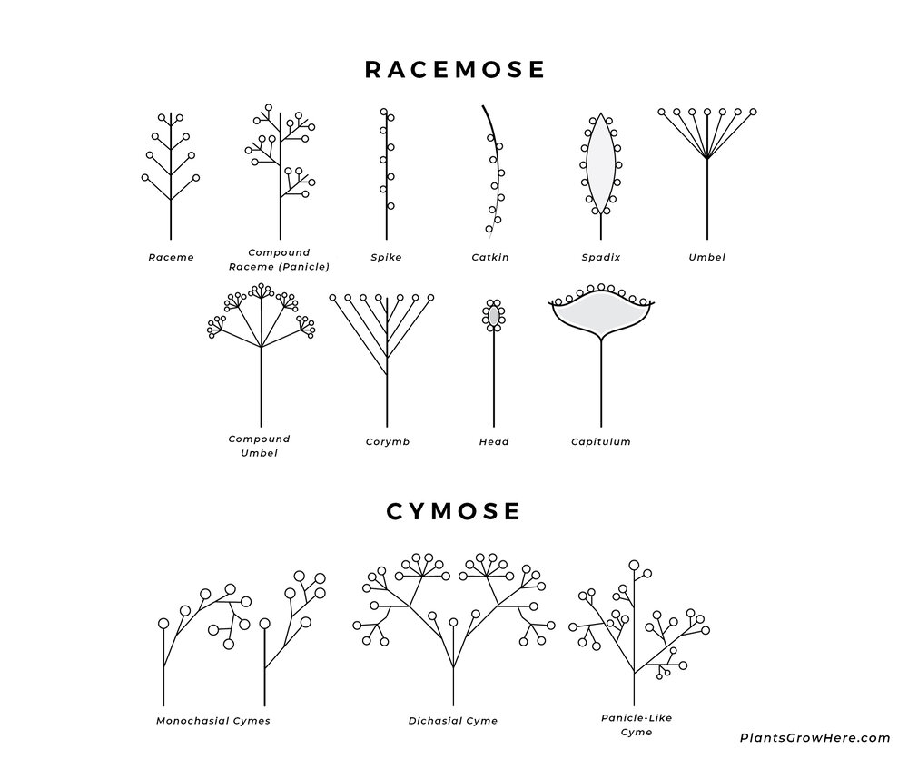 A diagram symbolising different racemose and cymose inflorescence types via Plants Grow Here