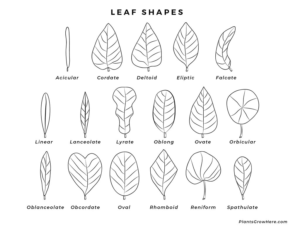 A basic leaf shape diagram via Plants Grow Here.