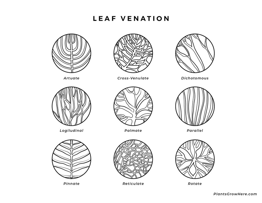 A basic diagram symbolising different leaf vein patterns via Plants Grow Here.