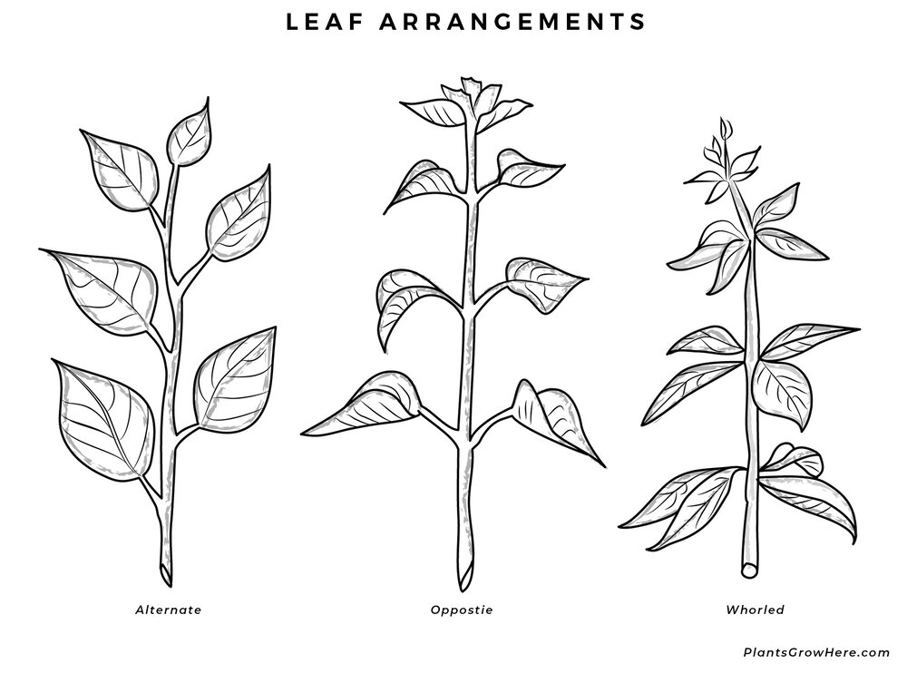 A basic leaf arrangement diagram via Plants Grow Here.