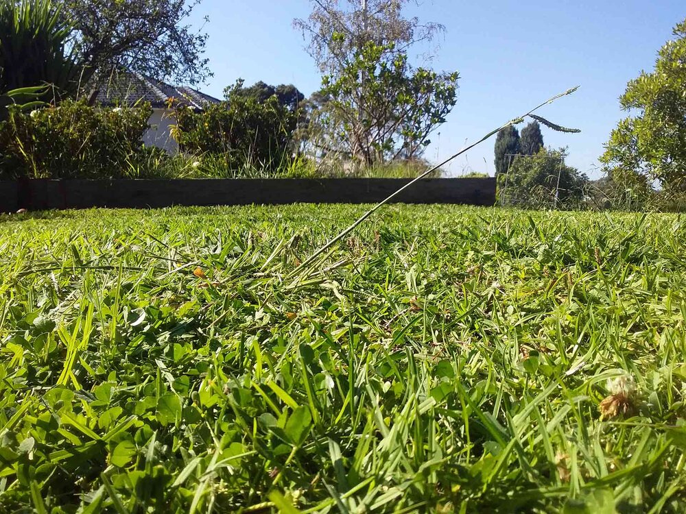 A paspalum stalk might only be visible from certain angles. Image via Plants Grow Here.