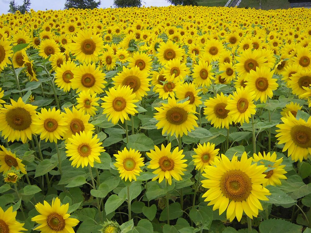 Sunflowers can be used in floriculture for their blooms and agriculture for their seeds.    Image source
