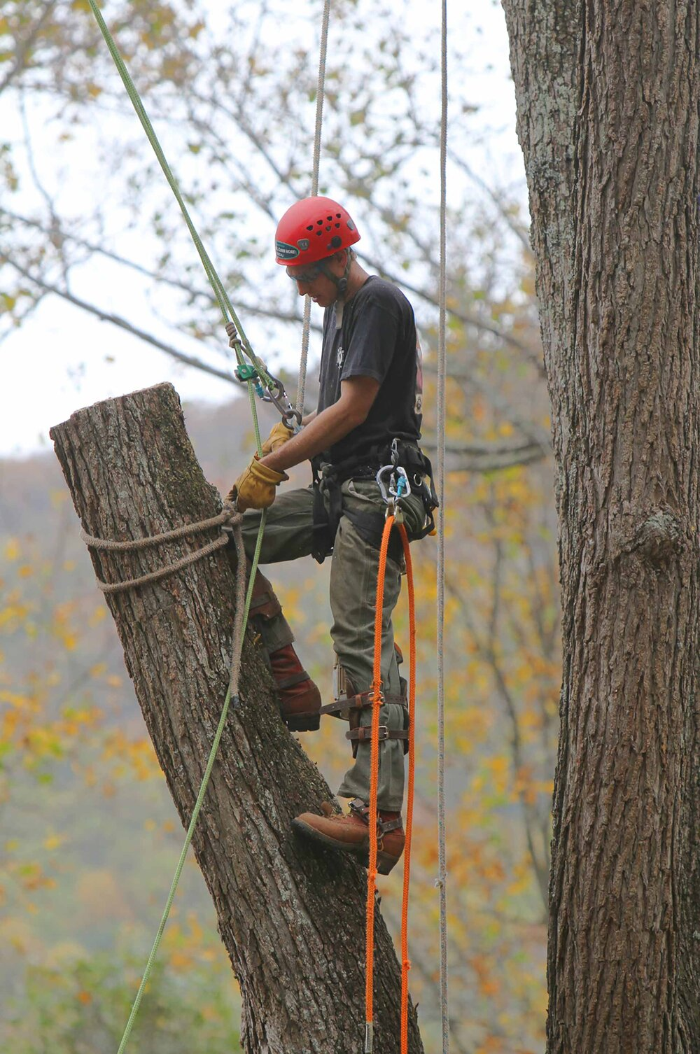 A climbing arborist calmly taking down a giant tree, piece by piece.    Image source