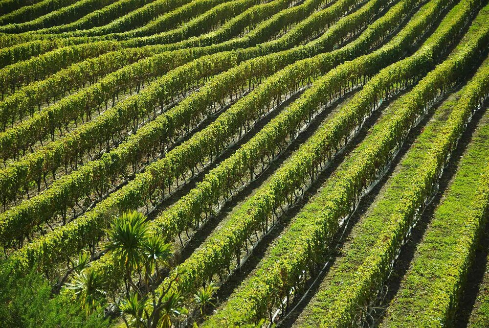 Rows of grape vines on a vineyard, or grape farm.    Image source