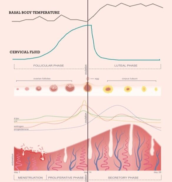 A diagram showing the progress of basal body temperature (BBT), cervical mucus (CM), and hormones throughout the menstrual cycle