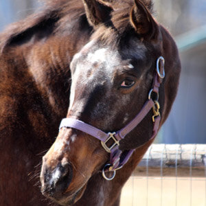 Flirt is a recent addition to our farm, coming to Spirit's Promise in 2016.  Born is 2000, she is a Roan Appaloosa Bay Mare.  Flirt came to us from Orient Point after her owner passed away, which was quite a traumatic loss.  Through the love and patience of the people at Spirit's Promise, as well as the companionship of the herd, Flirt has grown to be a confident horse who is now the Alpha Mare of the herd.  She is a big part of our exercises in herd dynamics.