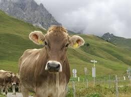 Braunvieh cattle