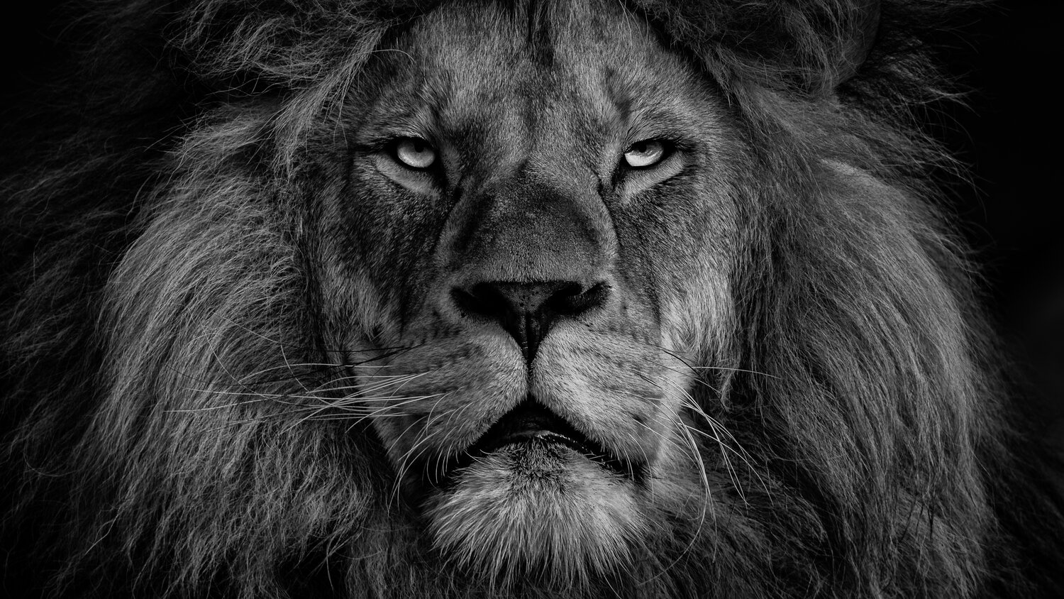 What makes the lion the king of the jungle?
