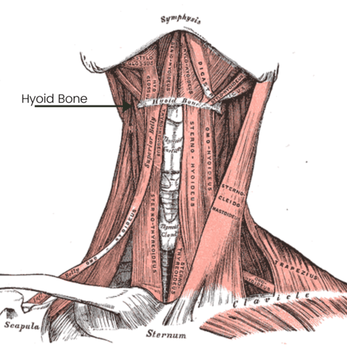 Muscles Of Jaw Hyoid Bone.png