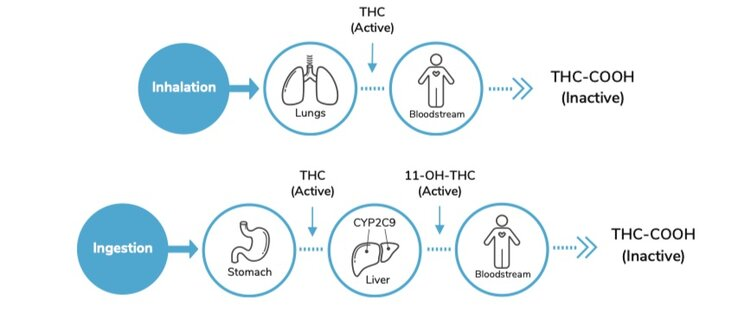 THC Metabolism - Lobo Genetics THC Test Results Report
