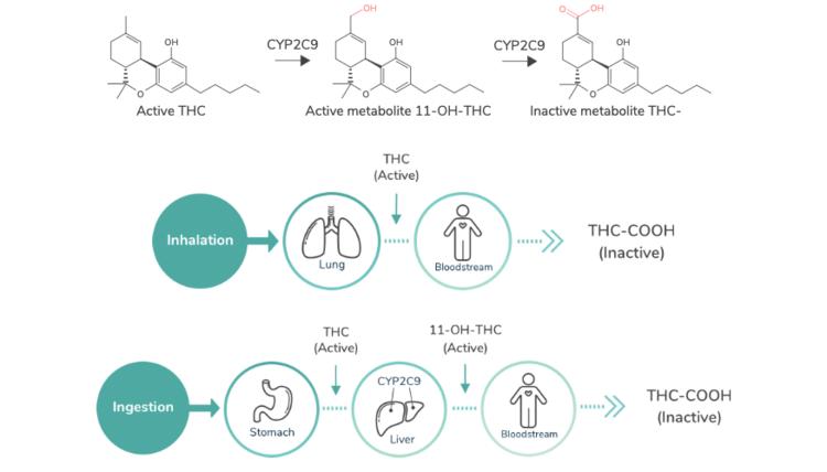 THC Metabolites - Lobo Genetics THC Metabolism Report